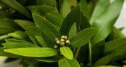 موارد استفاده برگ بو ؛ در چه مواردی می توان از گیاه برگ بو استفاده کرد