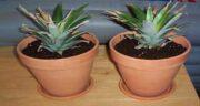 کاشت آناناس ؛ بررسی بهترین شرایط برای کاشت و پرورش آناناس