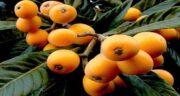 کاشت هسته ازگیل ژاپنی ؛ نحوه کاشتن ازگیل ژاپنی در گلدان