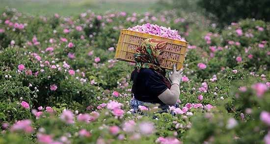 گلاب برای کرونا ؛ ریختن گلاب در شربت و چای برای مبارزه با کرونا