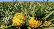 گیاه آناناس ؛ میوه آناناس سرشار از خاصیت برای ایمنی بدن