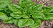 گیاه اسفناج ؛ مشخصات ظاهری اسفناج و آشنایی با خواص فراوانش