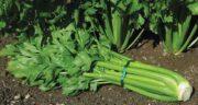 خواص کرفس برای استخوان ؛ درمان گیاهی و بی خطر پوکی استخوان با کرفس