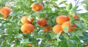 خواص آب نارنج و عسل ؛ برای درمان سرماخوردگی