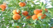 مضرات آب نارنج در بارداری ؛ همچنین مصرف زیاد آن باعث سوزش  معده