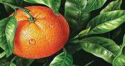 فواید آب نارنج بعد از غذا ؛ روشی اسان برای هضم سریعتر مواد غذایی