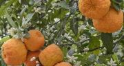 تعبیر خواب چیدن نارنج ، معنی چیدن نارنج در خواب های ما چیست