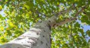 تعبیر خواب درخت چنار ، معنی دیدن درخت چنار در خواب های ما چیست