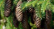تعبیر خواب درخت کاج قطع شده ، معنی دیدن درخت کاج قطع شده در خواب