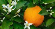 تعبیر خواب درخت نارنج ، معنی دیدن درخت نارنج در خواب های ما چیست