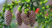 تعبیر خواب درخت سرو ، معنی دیدن درخت سرو در خواب های ما چیست
