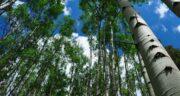 تعبیر خواب درخت صنوبر ، معنی دیدن درخت صنوبر در خواب های ما چیست