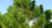 تعبیر خواب کاج سبز ، معنی دیدن کاج سبز در خواب های ما چیست