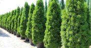 تعبیر خواب کاشتن درخت سرو ، معنی کاشتن درخت سرو در خواب های ما چیست