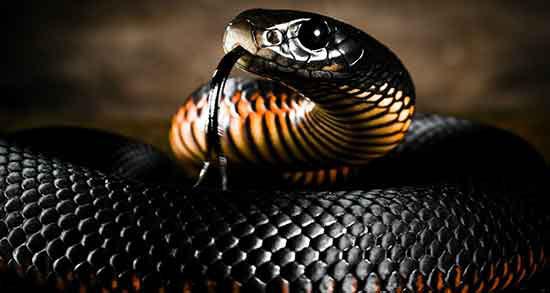 تعبیر خواب مار کبری سیاه بزرگ ، معنی دیدن مار کبری سیاه بزرگ در خواب چیست