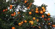 تعبیر خواب نارنج سبز ، معنی دیدن نارنج سبز در خواب های ما چیست