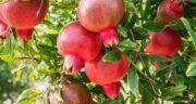 تعبیر خواب شاخه درخت انار ، معنی دیدن شاخه درخت انار در خواب چیست