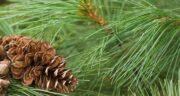 تعبیر خواب شاخه درخت کاج ، معنی دیدن شاخه درخت کاج در خواب ما چیست
