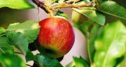 تعبیر خواب شکستن شاخه درخت سیب ، معنی شکستن شاخه درخت سیب
