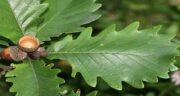 برگ درخت بلوط ؛ کاربردهای دارویی استفاده از برگ درخت بلوط
