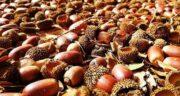 بلوط برای اسید معده ؛ خوردن میوه بلوط و تاثیری که روی اسید معده دارد
