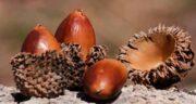 بلوط برای زخم معده ؛ تاثیر خوردن میوه بلوز برای بهبود زخم معده