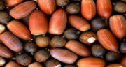 بلوط برای عفونت زنان ؛ خاصیت درمانی میوه بلوط برای عفونت رحم خانم ها