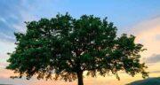 بلوط در کجای ایران است ؛ رشد درختان بلوط در جنگل های زاگرس