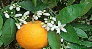 بهار نارنج برای پوست ؛ سفیدی و نرمی پوست صورت