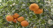 بهار نارنج در بارداری ضرر دارد ؛ چه موادی در خود دارد که موجب ضرر در بارداری می شود؟
