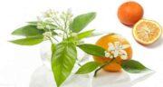 بهار نارنج در چای ؛طرز تهیه و مواد لازم چای بهار نارنج