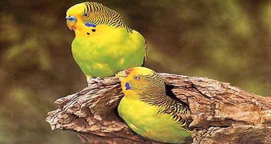 جوانه ارزن برای مرغ عشق ؛ فواید استفاده از جوانه ارزن برای تغذیه مرغ عشق