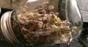 جوانه شبدر برای طوطی ؛ خواص خوردن جوانه شبدر در برنامه غذای طوطی