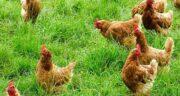 جوانه ها در تغذیه طیور ؛ نقش استفاده از جوانه ها برای غذای پرندگان