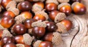 خواص بلوط برای دیابت ؛ کاربرد دارویی میوه بلوط برای درمان دیابت