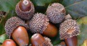 خواص بلوط جنگلی ؛ آشنایی با خاصیت مصرف میوه بلوط جنگلی