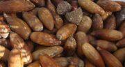 خواص بلوط در درمان معده ؛ خاصیت دارویی میوه بلوط برای درد معده