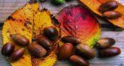 خواص بلوط وحشی ؛ خاصیت درمانی و عالی میوه بلوط وحشی برای بدن
