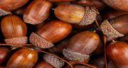 خواص بلوط کوهی ؛ بررسی خواص و ارزش غذایی بلوط کوهی