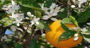 خواص بهار نارنج برای مردان ؛ درمان سردرد های عصبی و میگرن