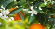 خواص بهار نارنج برای پوست صورت ؛ مرطوب و جوانسازی پوست صورت