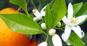 خواص بهار نارنج و بیدمشک ؛ کنترل حمله قلبی و تنظیم ضربان قلب