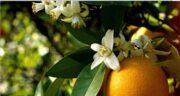 خواص بهار نارنج و مضرات ؛بی خوابی و بیماری قلبی در صورت مصرف زیاد