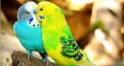 خواص جوانه ارزن برای مرغ عشق ؛ اضافه کردن جوانه ارزن به برنامه غذایی مرغ عشق