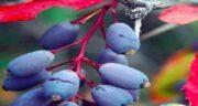خواص زرشک آبی ؛ آشنایی با فواید و خاصیت خوردن زرشک آبی