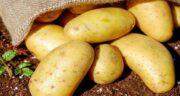 خواص سیب زمینی برای جنین ؛ سلامت جنین با مصرف سیب زمینی