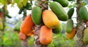 خواص پاپایا در بارداری ؛ مشورت زنان باردار با پزشک برای مصرف میوه پاپایا