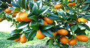 خواص پرتقال جنگلی ؛ نام دیگر پرتقال جنگلی چیست و چه خواصی دارد