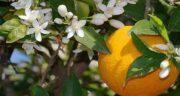 خواص گل پرتقال ؛ فواید و کاربردهای شکوفه و گل پرتقال برای بدن