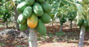 درخت پاپایا ؛ آیا می دانید درخت میوه پاپایا چگونه است و در کجا پرورش می یابد